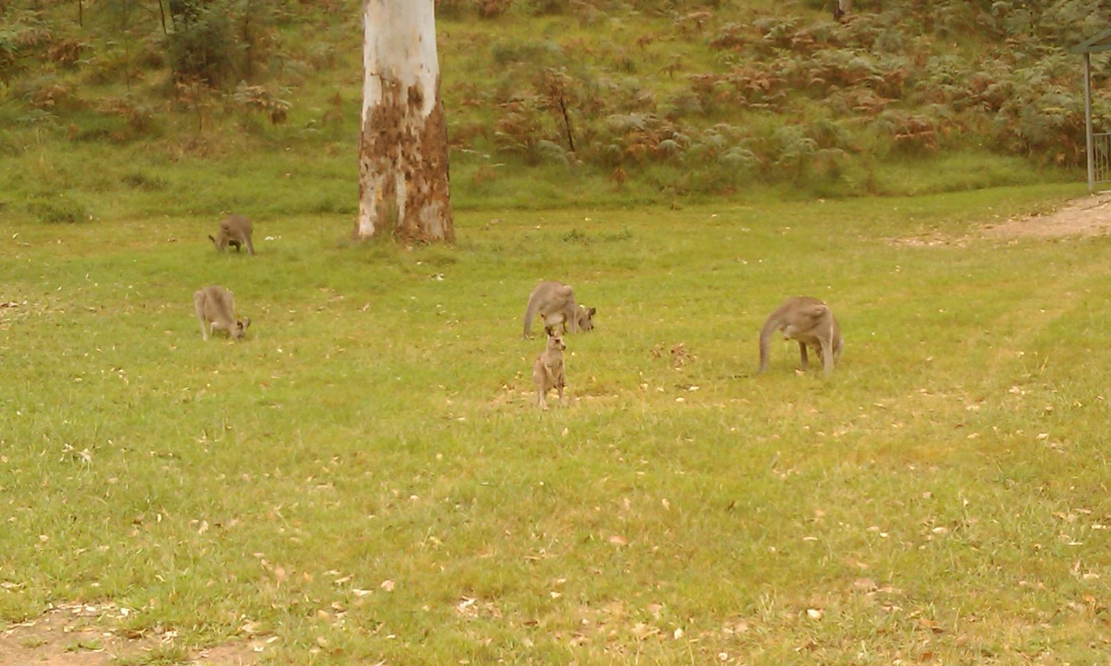 Blue Mountains - kangaroos (notice one joey in pouch)