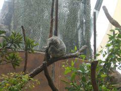 Sydney - koala